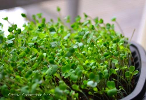 Let-us-plant-lettuce-7-500x343