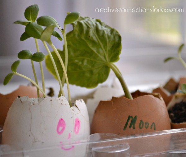 Planting seeds in eggshells - sprouts!